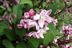 deutzia_blush.jpg